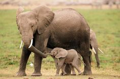 """▷ 1001 + pictures and interesting facts about """"Cute animals - motherly love in the animal kingdom"""" - Mother and baby elephants, getting to know wildlife better, enjoying nature - Elephants Photos, Elephant Pictures, Save The Elephants, Animal Pictures, Baby Elephants, Elephant Photography, Animal Photography, Nature Animals, Animals And Pets"""