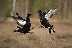 Eurasian BLACK GROUSE (Tetrao tetrix) --- males fighting