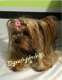 Yorkie with braids. Stunning!