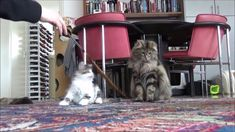Jumping cats Jumping Cat, Cattery, Feather, Pets, Animals, Animaux, Animales, Feathers, Fur