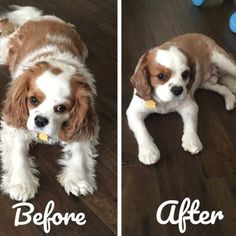 Image result for king charles spaniel hair cut