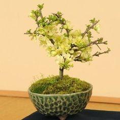 ミニ盆栽:白花長寿梅(瀬戸焼織部釉鉢)*