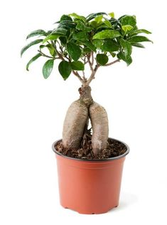 Learn how to grow and care for a ginseng ficus bonsai with this guide. Ginseng Ficus are best known for the immense roots protruding out of the ground. Ficus Ginseng Bonsai, Ficus Bonsai Tree, Ginseng Plant, Wisteria Bonsai, Bonsai Tree Care, Bonsai Tree Types, Indoor Bonsai Tree, Mini Bonsai, Bonsai Plants