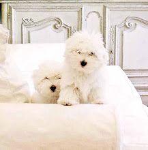 Coton de Tulear(Coton puppies) at Snowflower Cotons Westie Puppies, Cute Puppies, Cute Dogs, Beautiful Dogs, Animals Beautiful, Cute Animals, Coton De Tulear Puppy, Hypoallergenic Dog Breed, Maltipoo