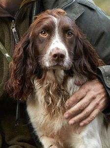 Working spaniels are great companions.