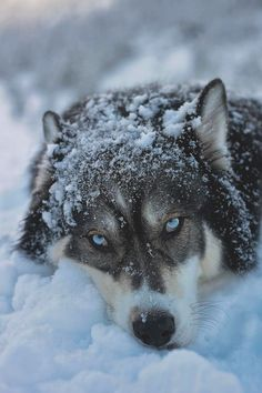 Pets have more love and compassion in them than most humans. huskies husky dog husky adoption a husky dog a husky puppy husky breeds husky baby husky blue eyes husky colors Tg; Wolf Love, Beautiful Creatures, Animals Beautiful, Tier Wolf, Animals And Pets, Cute Animals, Wild Animals, Baby Animals, Husky Breeds