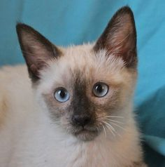 Please let Connie steal your heart.  She is a spunky, beautiful Siamese kitten, now 3 months of age and spayed, ready for adoption at Nevada SPCA (www.nevadaspca.org).  Connie has been lovingly raised and socialized in a foster home.  Her foster mom says Connie is entertainingly rambunctious and always eager to play, but likes to cuddle with you at night.  Connie enjoys other cats and her favorite toy is the laser light.  Please visit and ask for Connie by name.