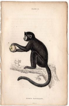 1833 monkey antique print engraving