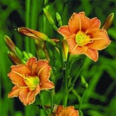 Daylily Peanut Butter Frenzy - really tall plant with lots of tiny little flowers. Cool.