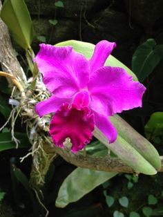 Orchid flower meaning and symbolism a really interesting read orchid flower meaning and symbolism a really interesting read hawaii pinterest cattleya orchid orchid and popular flowers mightylinksfo