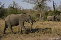 "Elephant at MalaMala, 40mm, 1/250s, f/10, 200ISO, by Greg Byrnes  From our blog ""Unforgettable MalaMala, by Greg & Jan Byrnes""   http://blog.malamala.com"