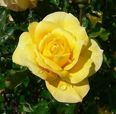 Golden Glow Hybrid Tea Rose Bush | eBay