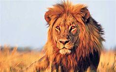 BEST SAFARI Lions roam, play and fight on a Botswana safari