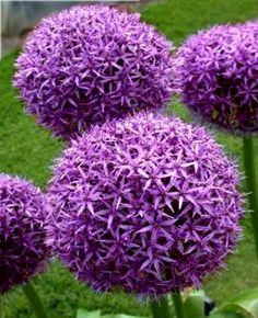 """Allium *Purple Sensation*""  [Baseball-sized globe filled with amethyst-violet flowers. Great for containers or in the ground.]  'h4d' 120814"