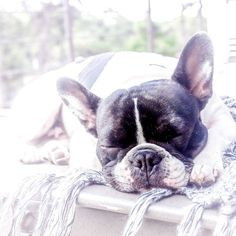 My pal @roccopugzworld asked #whatimdoingrightnow and to no one's surprise I am sleeping !! What are you doing right now @montanathedood ?? __  #LOVEABULLY #frenchies1 #hankandhound  #photooftheday #sunnypicchallenge  #bestwoof #houndsbazaar_ff #thefrenchiepost #dailybarker #animalbuzz #dogsofinstagram #lacyandpaws #rainbow_wall  #excellent_dogs #meowvswoof #french_bulldogs #mydogiscutest #cute #INSTAFRENCHIE #frenchielove_feature #topdogphoto #frenchbulldog #frenchiesofcdmx by…