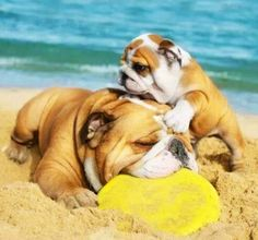 I am a big animal lover! Especially when it comes to English Bulldog puppies!