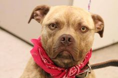 NAME: Rita  ANIMAL ID: 25328200  BREED: Pit mix  SEX: female  EST. AGE: 3 yr  Est Weight: 39 lbs  Health: heartworm neg  Temperament: dog friendly people friendly  ADDITIONAL INFO: RESCUE PULL FEE: $49  Intake date: 4/6  Available: 4/12