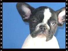 tierno bulldog frances, frenchies en colombia, bulldog frances criadero canaguay, cachorros bulldog frances en venta