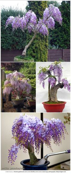 IN MY OPINION ONLY WAY TO GROW WISTERIA. IT IS A HORRIFIC INVASIVE PLANT THAT IS NOT SUITED FOR A REG ARBOR OR PATIO/PORCH purple Wisteria in a pot. adore! it's like a little tree.