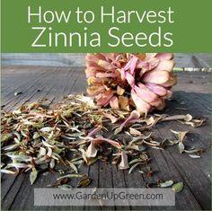 How to Harvest Zinnia Seeds
