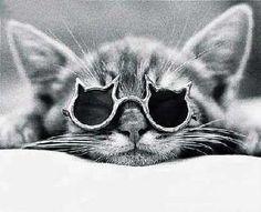 A cat in cat sunglasses