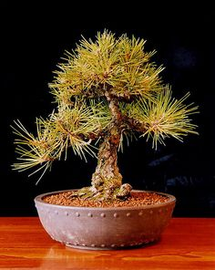 Bonsai Japanese Black Pine