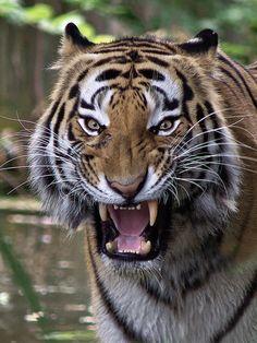 Sibirian Tiger (Panthera tigris altaica)byRenate Schleuter