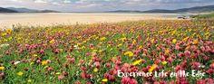 Machair - flowers in mid June - Uist, Lewis, Harris - Outer Hebrides aka Western Isles