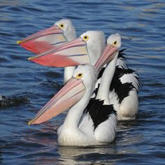 Great photo of Australian Pelicans.  (photo by christina port)