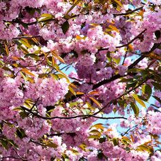 How do the Japanese call cherry blossom? #trivia #quiz #flowers #Japan #cherry #blossom #quizquest #tree #question #pictureoftheday #thursday