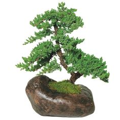 Considered a very hardy conifer, the Juniper is a non-flowering tree that makes a great choice for bonsai because it's so easy to prune and train. Originating from China, it is one of the most popular types of bonsai trees. #lowes #gardening #beginners #mothersday