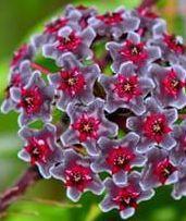 Hoya carnosa Multi Coloured