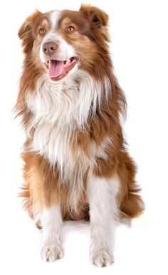 "Australian Shepherd: The Australian Shepherd, lovingly called an ""Aussie,"" is a highly intelligent, incredibly energetic, people-loving dog who needs to have a job to do."