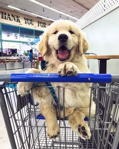 Golden Retriever If I fits I sits. I fits. Now take me to get something yummy. Animals And Pets, Funny Animals, Cute Animals, Funny Pets, Cute Dogs And Puppies, I Love Dogs, Doggies, Retriever Puppy, Golden Retriever Puppies