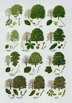 Native Trees - Broad Leaved More Bäume erkennen Illustration Botanique, Botanical Illustration, Botanical Drawings, Garden Trees, Garden Plants, Herb Garden, Forest Plants, Garden Gate, Trees And Shrubs