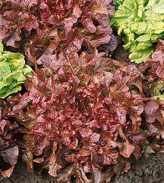 Вырастить салат лолло росса дома