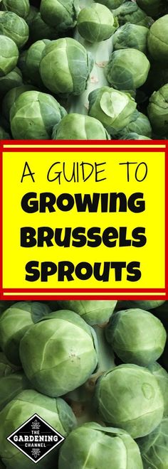 Urban Garden Have you thought about trying to grow Brussels sprouts in your home garden? Don't miss this guide to growing Brussels sprouts. Growing Veggies, Planting Vegetables, Growing Herbs, Allotment Gardening, Container Gardening, Gardening Tips, Urban Gardening, Organic Gardening, Vegetable Garden Planner