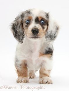 Dog: Silver double dapple Dachshund pup, Lacy, 8 weeks old.