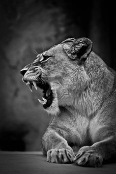 See my collection of spectacular iPhone and android lion wallpapers and background images in HD - Get instant access FREE! Lion Wallpaper, Animal Wallpaper, Wallpaper Backgrounds, Baby Animals, Cute Animals, Nature Animals, Lion Photography, Female Lion, Gato Grande