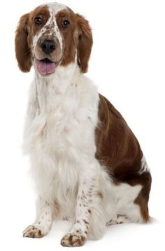"""The Welsh Springer Spaniel makes an excellent companion for both families and hunters. He is merry, active, affectionate, gentle, loyal and loving. He is also impulsive, mischievous, and incredibly stubborn. The """"Welshie"""" is a """"Velcro dog."""" He will stick to you and follow you everywhere you go. You will never go anywhere alone again, and that includes the bathroom."""