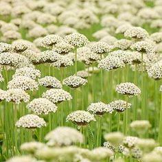 Allium nigrum - 10 flower bulbs Buy online order yours now