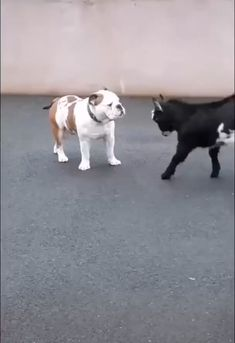 Practice Makes Perfect! Patient Bulldog and Baby Goat - Hunde - Practice Makes Perfect! Patient Bulldog and Baby Goat Informations About Practice Makes Perfect! Funny Animal Memes, Cute Funny Animals, Funny Animal Pictures, Cute Baby Animals, Funny Cute, Funny Dogs, Cute Dogs, Funny Memes, Funny Animal Humor