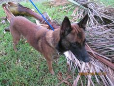 DUKE (A1641224) I am a male brown and black Belgian Malinois mix.  The shelter staff think I am about 1 year old.  I was found as a stray and I may be available for adoption on 09/11/2014.