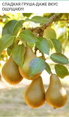 Fruit to harvest in Autumn, Pear. Fruit to harvest in Autumn, Pear. , Fruit to harvest in Autumn, Pe