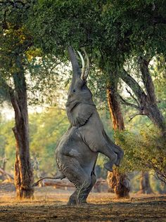 In a rare sighting, an elephant is seen standing on its hind legs to reach branch leaves at Mana Pools in Zimbabwe, an UNESCO World Heritage Site.