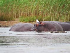 We took a day trip from Durban to St. Lucia, South Africa to see a hippo tour and saw some Vervet monkeys and a beautiful Estuary in the interim. Wetland Park, Game Reserve, Day Trip, Cry, South Africa, National Parks, Places, Pictures, Nature