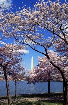 The National Cherry Blossom Festival is held every year in Washington, D.C., our nation's capitol. The festival is traditionally held during the...