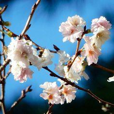 【sumire225】さんのInstagramをピンしています。 《寒くなってから花を咲かせる十月桜 この時期にお花見ができてうれしい♪🌸😊 #十月桜 #桜 #はなまっぷ #はなすたぐらむ  #花撮り部 #花撮り人 #花撮り隊 #ザ花部 #my_daily_flowers #fav_flowers  #日々のこと #花好きな人と繋がりたい》