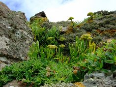 """Rock samphire (crithmum maritimum) has fleshy leaf spikes and knobbly greeny-yellow flowers and is commonly found growing in rock crevices. It was the plant whose perilous collection from the sea cliffs Shakespeare described as a """"dreadful trade"""". It has long been used as a pickling vegetable and was once supplied in large quantities to London markets, where it's enjoying a revival as a wild delicacy. Zone 5-9"""