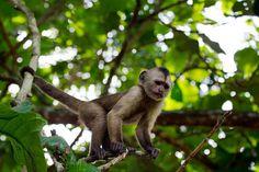 Mono del Delta del Orinoco Venezuela (73)